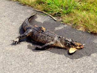 Gator Road Kill